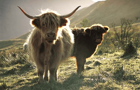 The Highland Cattle Society